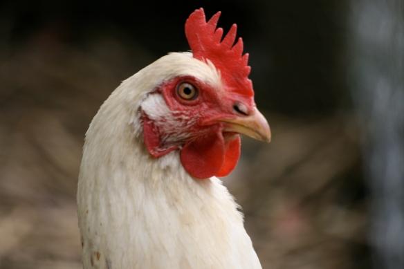 Chicken home grown